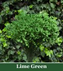 Limonium Lime Green