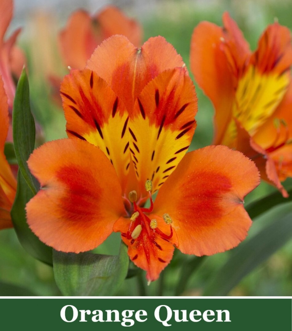Alstroemeria Orange Queen